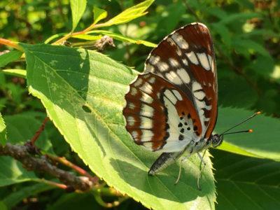 狭山池のチョウチョウ