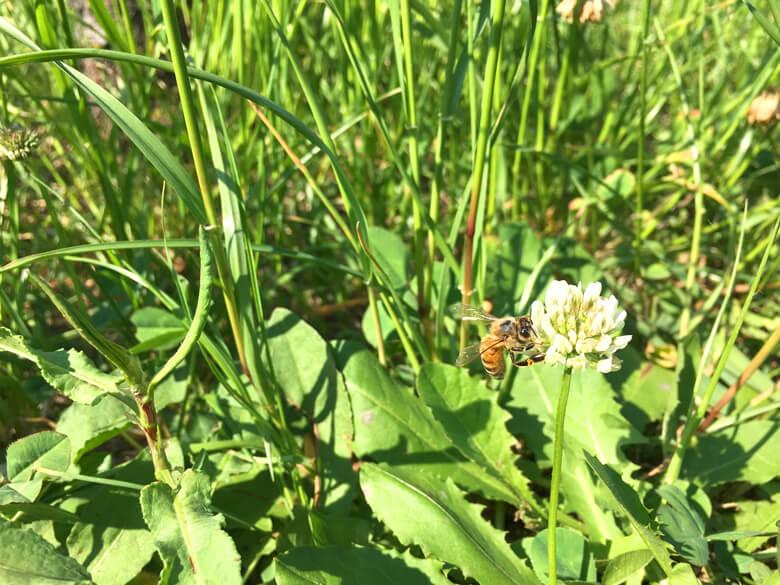 ミツバチ、ずっとシロツメクサに夢中だポン(*^ω^*)