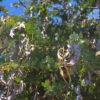 狭山池とミモザの豆