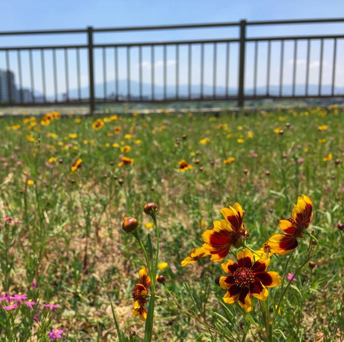 狭山池の常用洪水吐の黄色い花