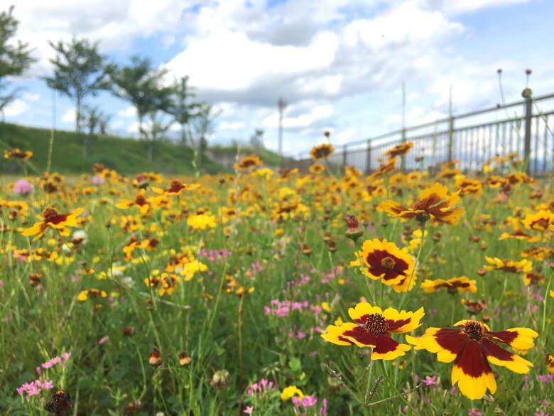 黄色と赤のハルシャギク、いっぱい咲いてるポーン♪o(^▽^)o♪ かわいいポン☆o(*゚▽゚*)o