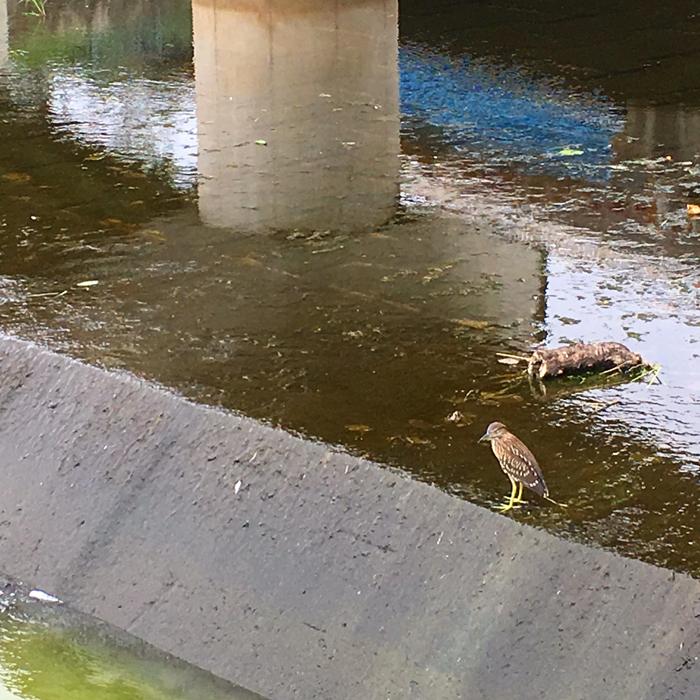 狭山池のホシゴイ