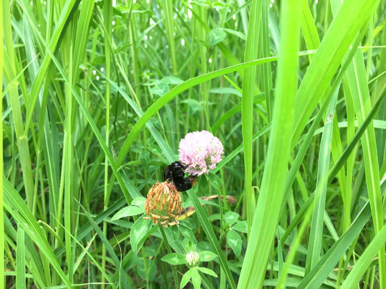 アカツメクサに夢中の、ハチみっけだポーン♪(*゚▽゚*)