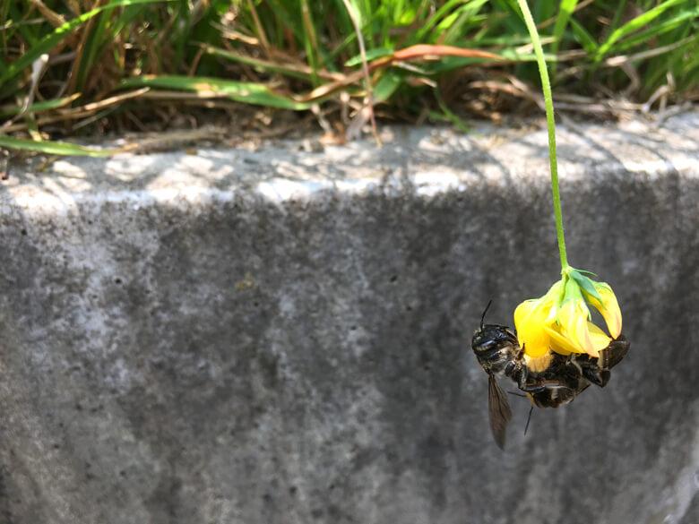 2匹のハチが、ミヤコグサの花にブンブンブーン♪だポン(*^ω^*)