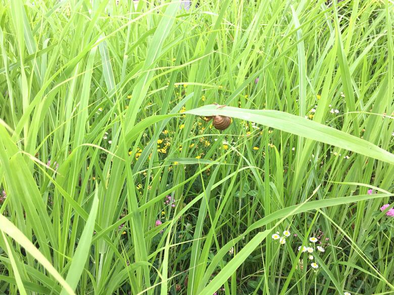草いっぱいの中に、セミの抜け殻 みっけだポン♪(*゚▽゚*)