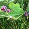 狭山池のクズの花