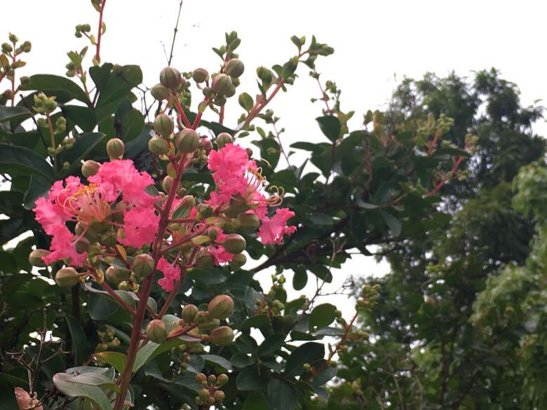 ピンクのふわふわの花びら、かわいいポン♡(๑>◡