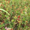 狭山池の赤トンボ