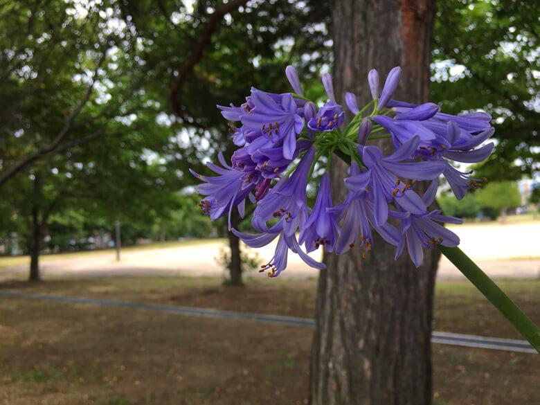 ムラサキクンシラン、花いっぱい咲いてるポーン☆(*゚▽゚*)☆