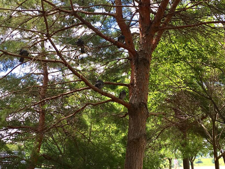 木の枝で、まったりしてるハト、みっけだポン∑(゚Д゚) びっくりしたポン(๑>◡