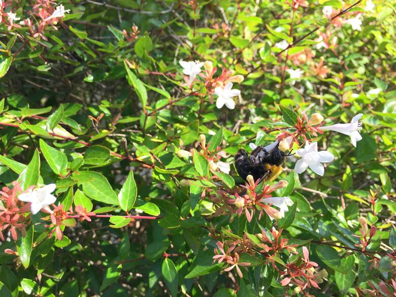 ハチ、みっけだポーン♪(=^▽^)σ アベリアの花に、ぎゅーってしてるポン(*゚▽゚*)