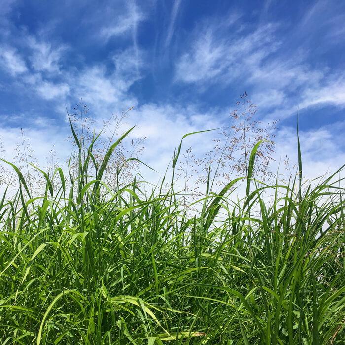 狭山池の青空とカゼクサ