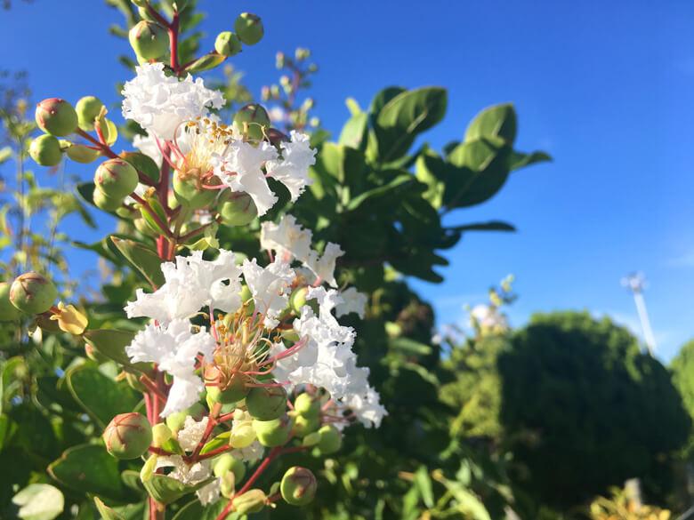 サルスベリの白い花、みっけだポーン♪ヽ(*゚▽゚*)ノ♪ かわいい花だポン(*^ω^*)