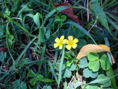 狭山池の黄色い花