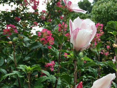 狭山池のサルスベリとムクゲの花