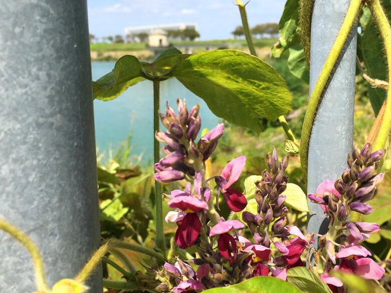 クズの花、いっぱい咲いてるポーン♪(*゚▽゚*)