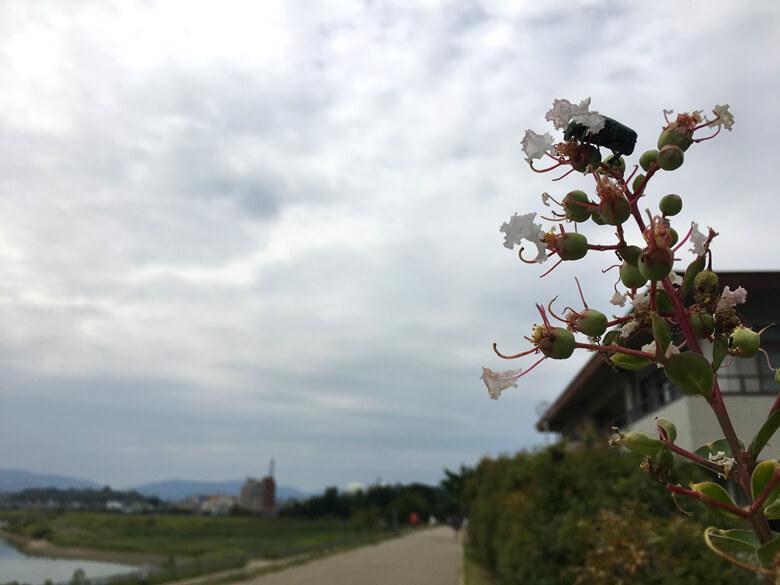 サルスベリの花に、カナブンがポン☆