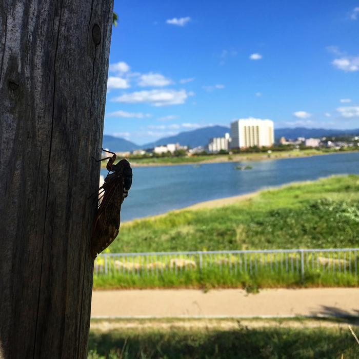 狭山池とアブラゼミ