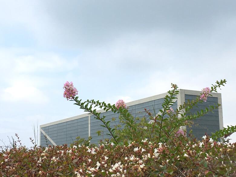 博物館近くに、サルスベリみっけだポーン☆ かわいいポン(*^ω^*)