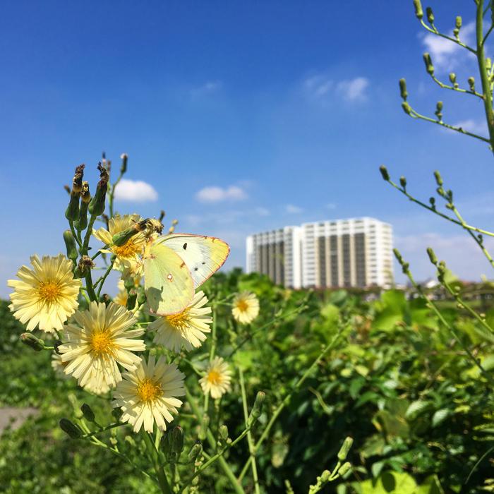 カタバミの花とチョウ