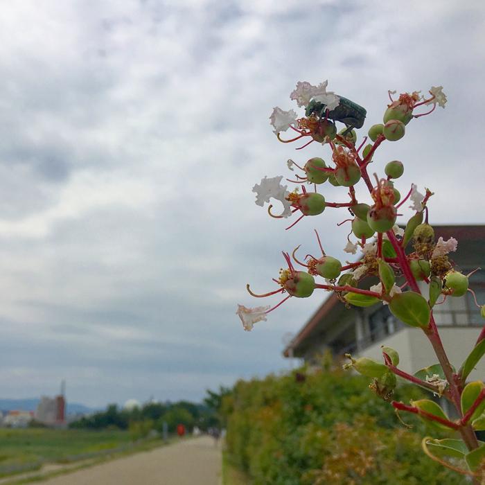 サルスベリの花にカナブンがポン☆