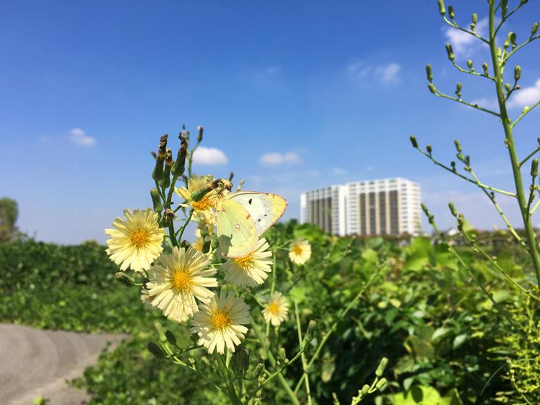黄色い花(アキノノゲシ)がポン☆