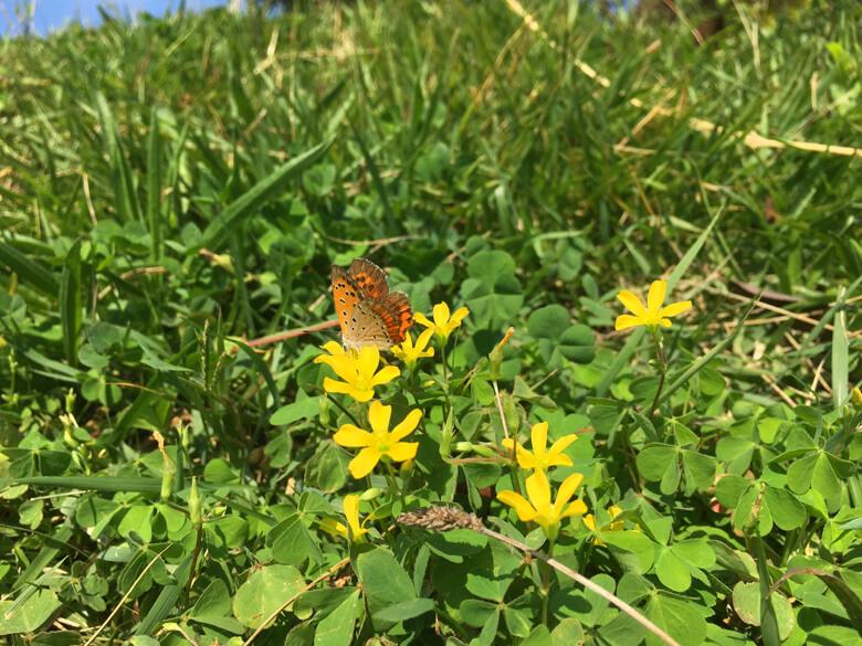 カタバミの花に、チョウがポン(*^ω^*)