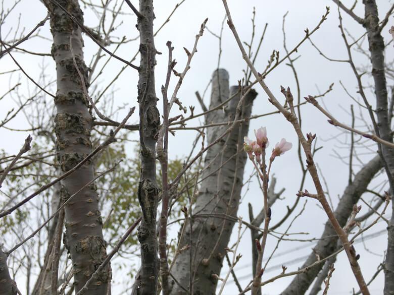 今日も桜の花みっけだポーン♪(*゚▽゚*)