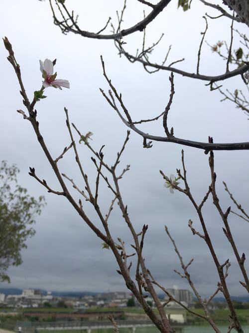 桜の花みっけだポーン♪(*゚▽゚*)