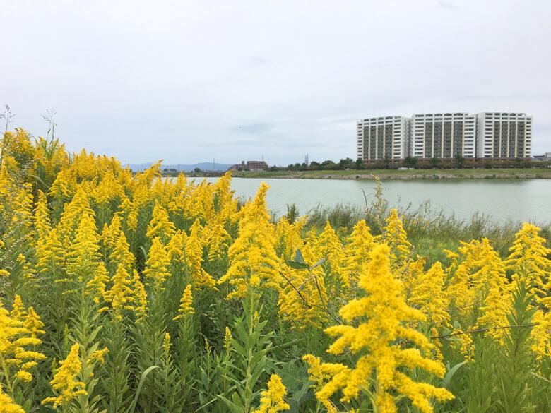 セイタカアワダチソウいっぱい咲いてるポンよ〜♪(*^ω^*)