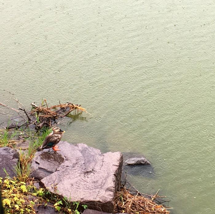 狭山池のカモ