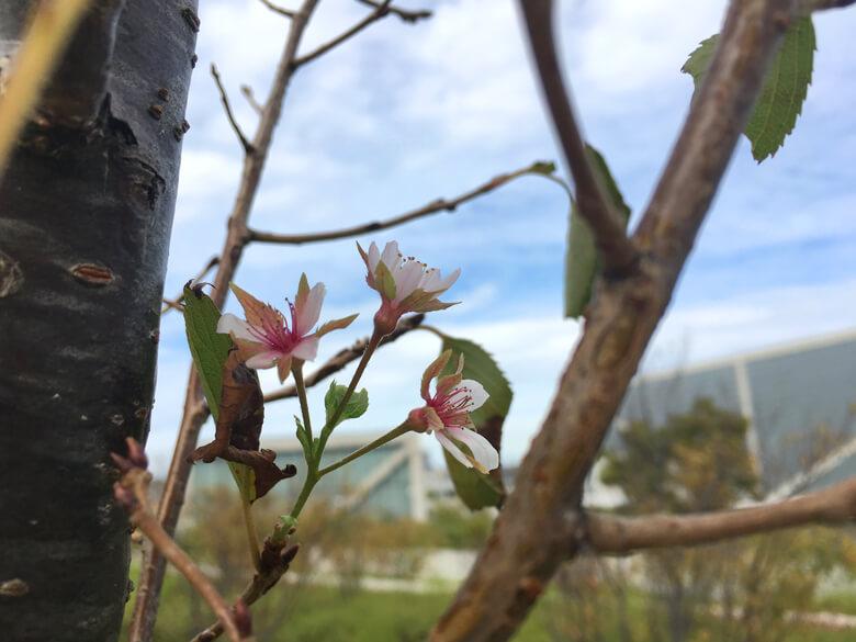 桜さいてるポーン♪(*゚▽゚*)