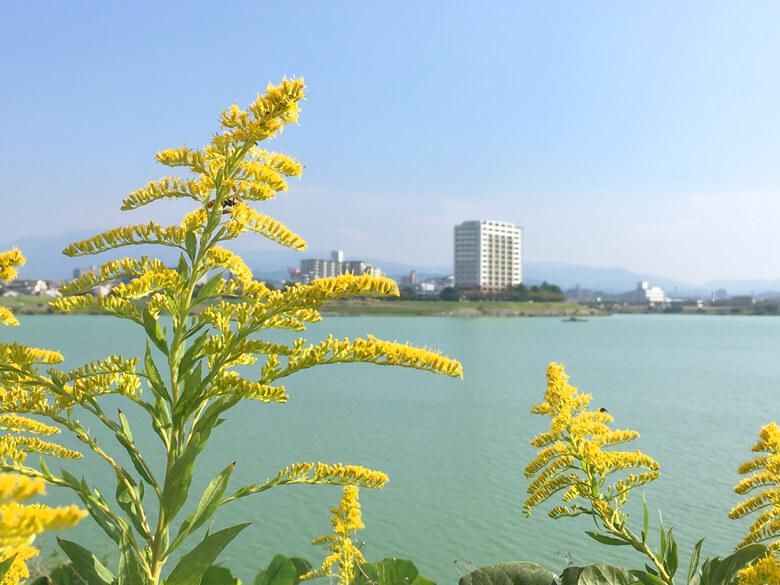 セイタカアワダチソウ、黄色くなってるポン(*^ω^*)