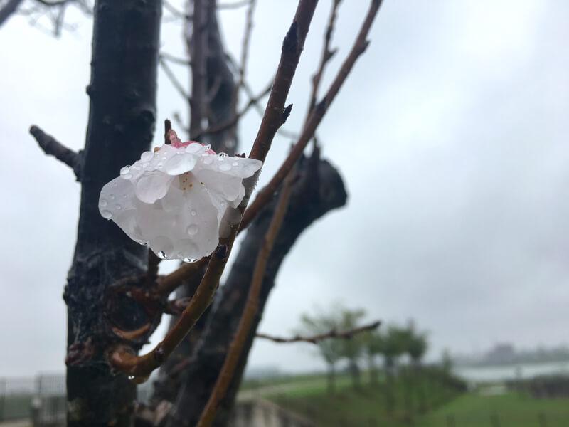 桜みっけだポーン♪(*^ω^*)