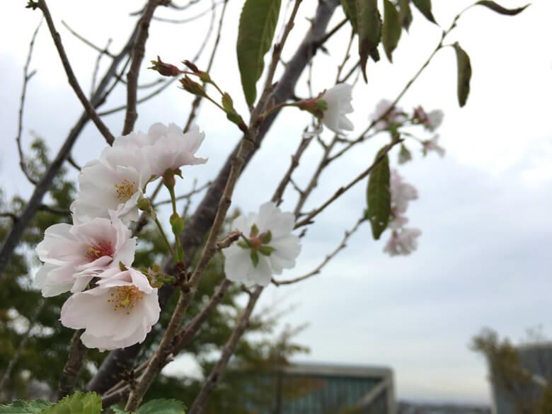 さっきより、桜の花いっぱい咲いてるポーン♪ヽ(*^ω^*)ノ♪