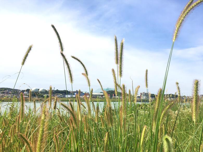 ねこじゃらしの草、いっぱいポンポン☆