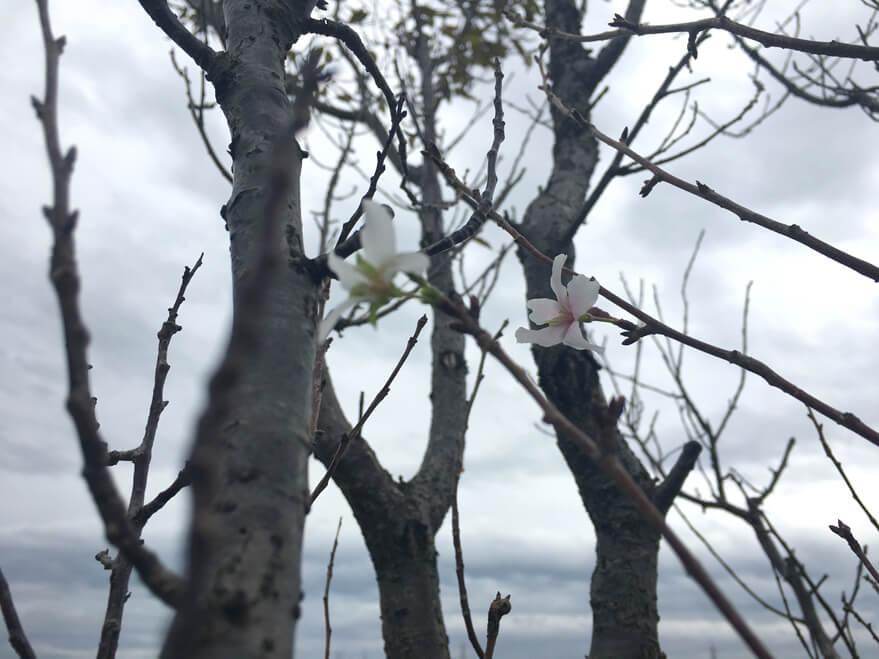桜みっけだポン☆