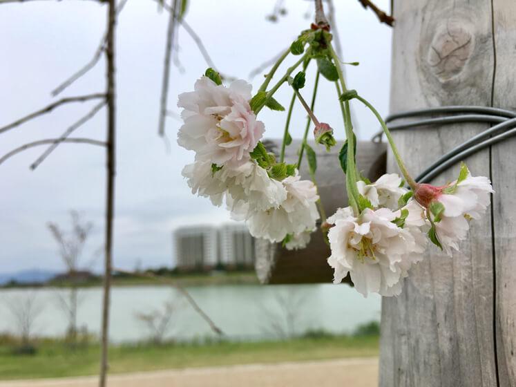 桜の花みっけだポーン♪ヽ(*゚▽゚*)ノ かわいいポン♡