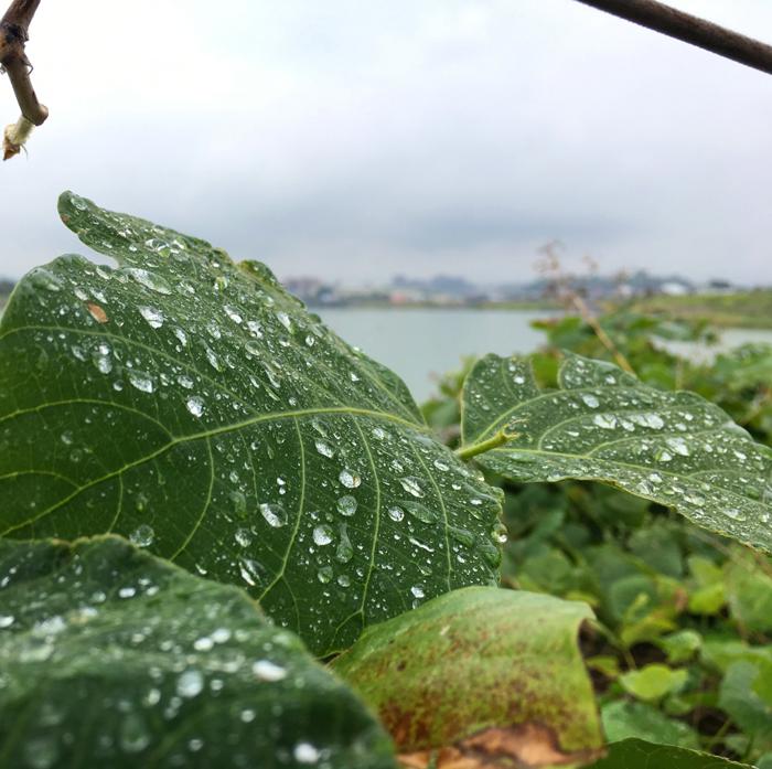 狭山池のクズの葉の滴