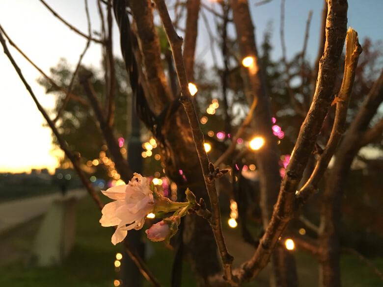 ピカピカ桜に桜がポン☆