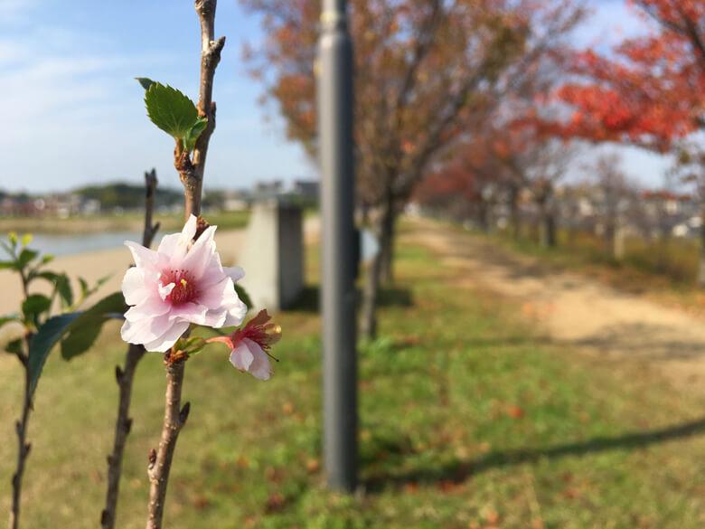 最後の桜の花びら☆ 今日もキレイに咲いてるポンよ〜(*゚▽゚*)