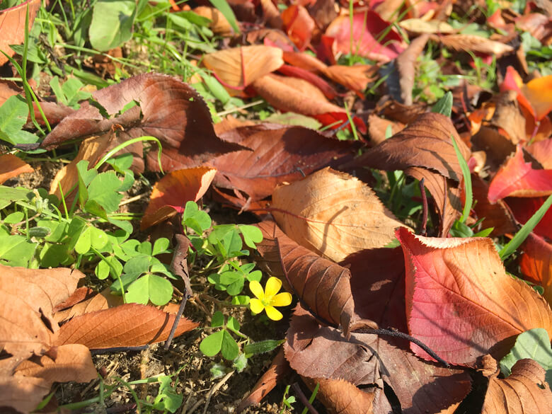 秋色落ち葉とカタバミがポン☆