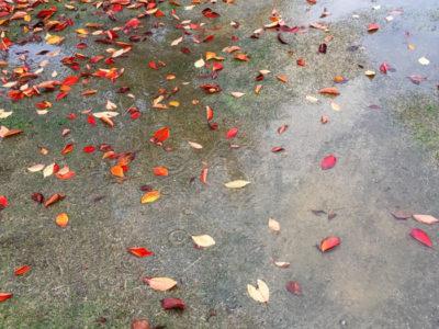 狭山池の落ち葉と雨