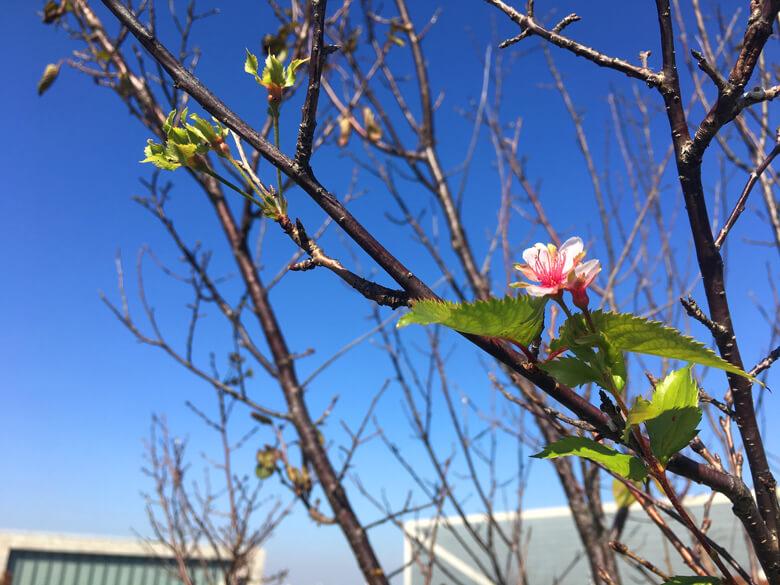 桜がポン☆