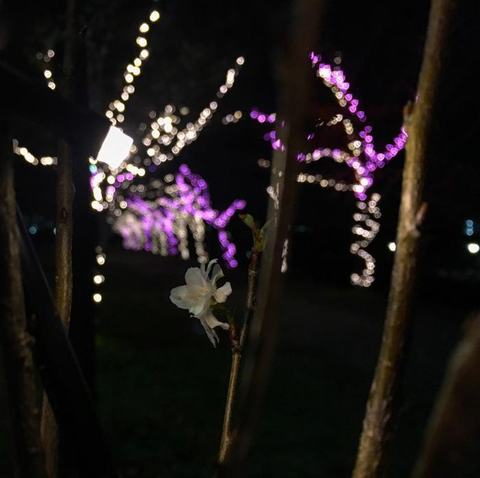 イルミネーションと冬の桜