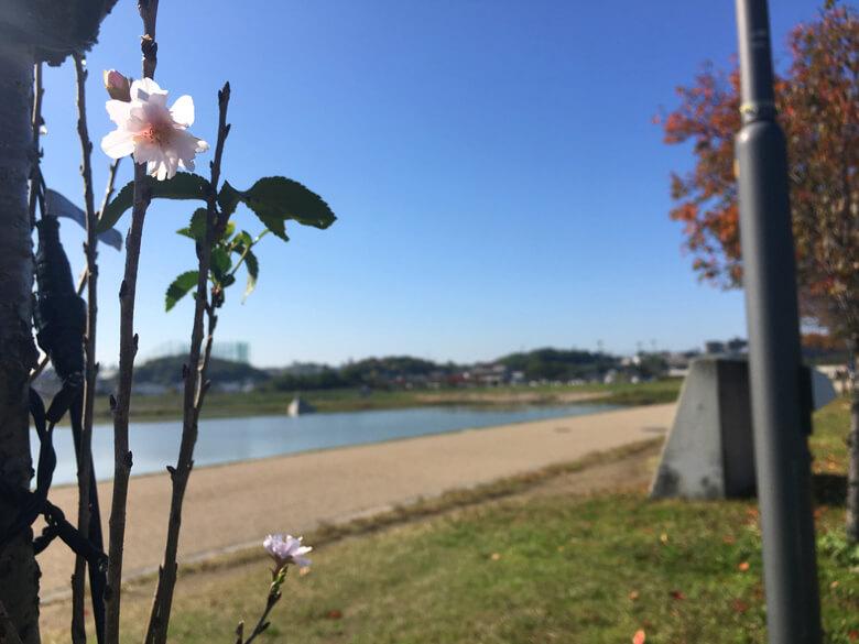 もひとつ桜がポンポン☆