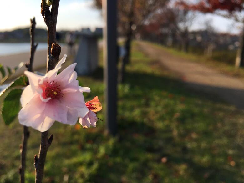 北堤の桜並木、最後の花びら、今日も咲いてるポン☆