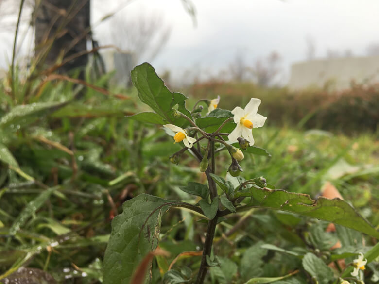 白い花みっけだポーン(*゚▽゚*)