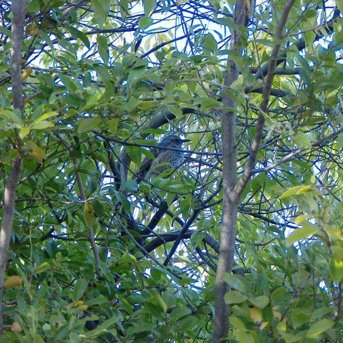 狭山池のヒヨドリ
