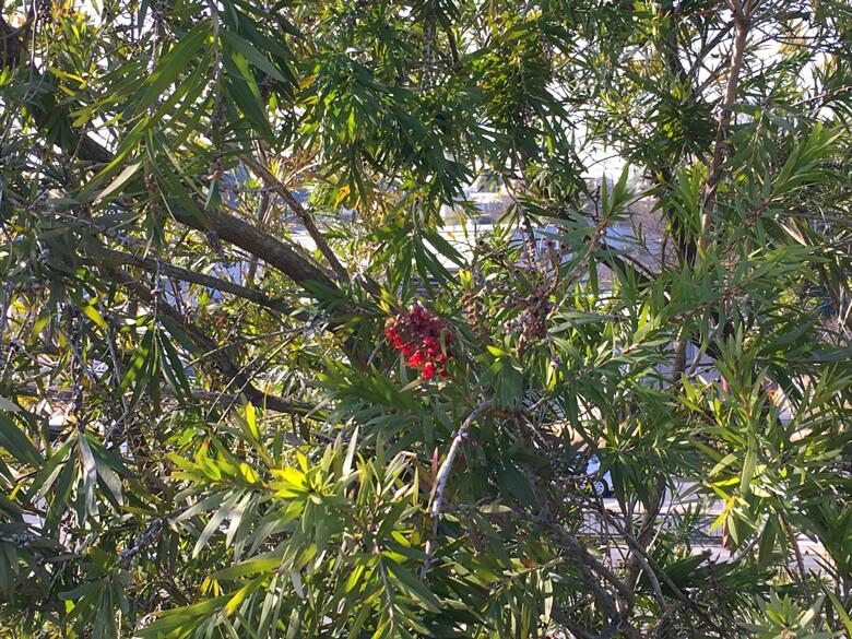 ブラシノキに1つ♪ 赤い花☆咲いてるポンよ〜☆